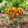 Bulbi Branduse Orange Monarch (Crocus)