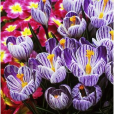 Bulbi Branduse Pickwick (Crocus)