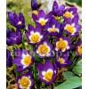 Bulbi Branduse Sieberi Tricolor (Crocus)