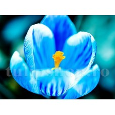 Bulbi Branduse Sky Blue (Crocus)
