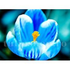 Bulbi Branduse Sky Blue (Crocus)