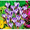 Bulbi Branduse Spring Beauty (Crocus)