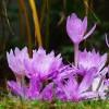 Bulbi Branduse Waterlily (Colchicum)