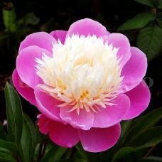 Bulbi Bujori Bowl of Beauty (Paeonia)
