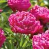 Bulbi Bujori Karl Rosenfield (Paeonia)