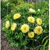 Bulbi Bujori Bartzella (Paeonia)