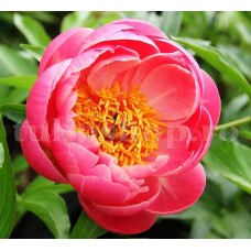 Bulbi Bujori Coral Sunset (Paeonia)