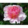 Bulbi Bujori Do Tell (Paeonia)