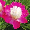 Bulbi Bujori Gay Paree (Paeonia)