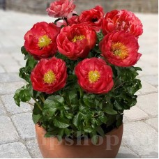Bulbi Bujori Patio Moscow (Paeonia)