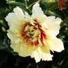 Bulbi Bujori Prairie Charm (Paeonia)