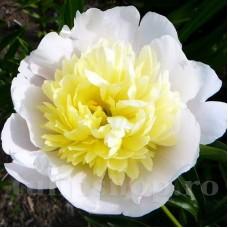 Bulbi Bujori Primavera (Paeonia)