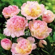 Bulbi Bujori Raspberry Sundae (Paeonia)
