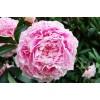 Bulbi Bujori Sarah Bernhardt (Paeonia)