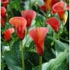 Bulbi Cala Red Alert (Zantedeschia)