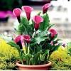 Bulbi Cala Rose Queen (Zantedeschia)