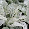 Bulbi Caladium Candidum Senior