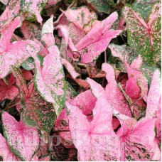 Bulbi Caladium Pink Beauty