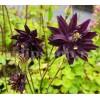 Bulbi Caldarusa Black Barlow (Aquilegia)