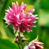 Bulbi Caldarusa Pink Barlow (Aquilegia)