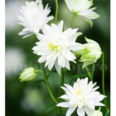 Bulbi Caldarusa White Barlow (Aquilegia)