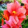 Bulbi Canna Orchid