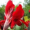 Bulbi Canna Red Dazzler