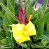 Bulbi Canna Striped Beauty
