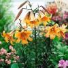 Bulbi Crin African Queen (Lilium)