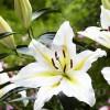 Bulbi Crin Bafferari (Lilium)