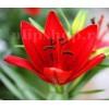 Bulbi Crin Diabora (Lilium)