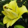 Bulbi Crin Exotic Sun (Lilium)