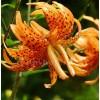 Bulbi Crin Flore Pleno (Lilium)