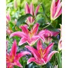Bulbi Crin Mount Cook (Lilium)