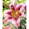 Bulbi Crin Olympic Torch (Lilium)