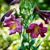 Bulbi Crin Pink Perfecion (Lilium)