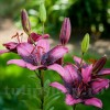 Bulbi Crin Purple Dream (Lilium)