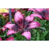 Bulbi Crin Purple Eye (Lilium)