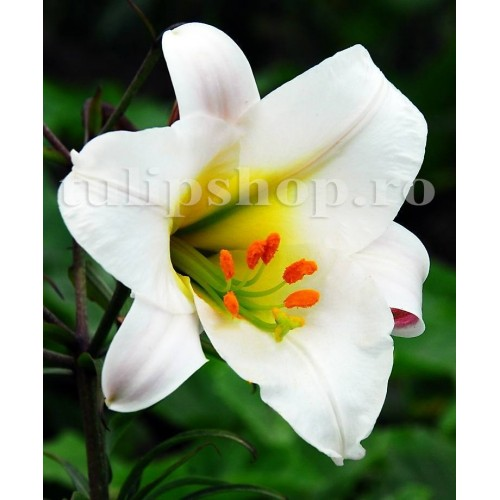 Bulbi Crin Regale Album (Lilium)
