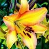 Bulbi Crin Rising Moon (Lilium)