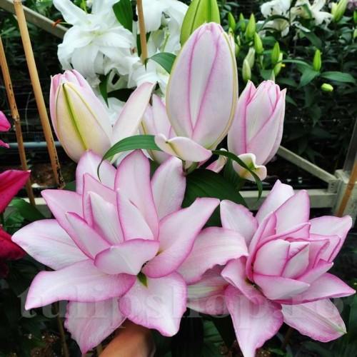 Bulbi Crin Roselily Anouska (Lilium)