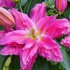 Bulbi Crin Roselily Lorena (Lilium)