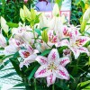 Bulbi Crin Solution (Lilium)
