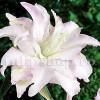 Bulbi Crin Spring Pink (Lilium)
