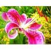 Bulbi Crin Stargazer (Lilium)