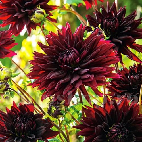 Bulbi Dalia Black Touch (Gherghina)