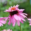 Bulbi Echinacea Double Decker