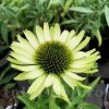 Bulbi Echinacea Green Jewel