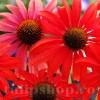 Bulbi Echinacea Red Magnus