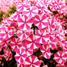 Bulbi Flox Peppermint Twist (Phlox)